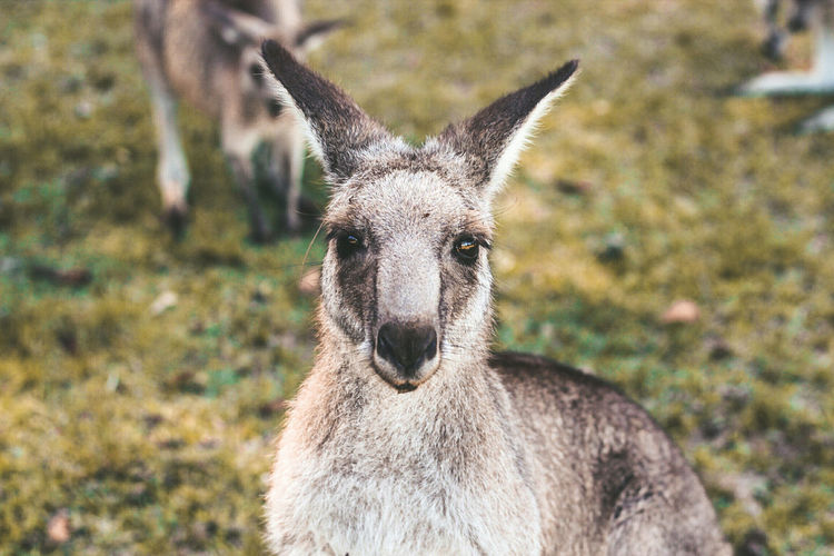 Animals In The Wild Animal Wildlife Portrait Outdoors Close-up Kangaroo Nature Animal Morisset Park New South Wales
