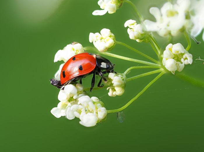 Ladybugs,