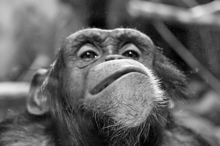 Chimpanzee Grin Whiskers Cheeky Smile Say Cheese! Canon EOS 50D  Zoo Monkey Cheeky Monkey