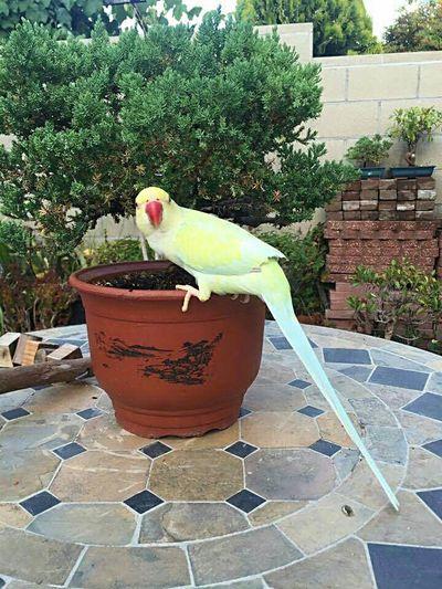 Garden Parrot