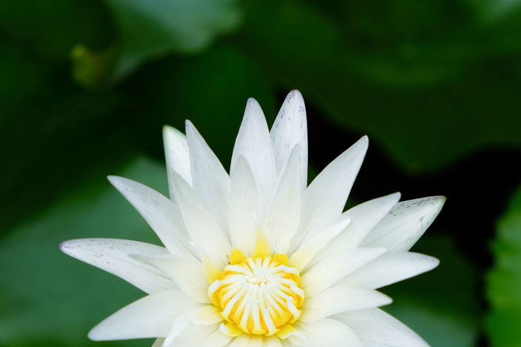 Flowering Plant Flower Fragility Freshness Vulnerability  Petal Plant Beauty In Nature Flower Head Inflorescence Growth White Color Close-up Nature White No People Focus On Foreground Pollen Water Lily Lotus Water Lily