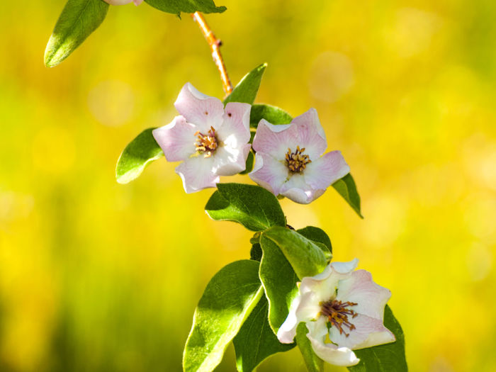 Animal Themes Beauty In Nature Blooming Cidonia Oblonga Close-up Day Environment Flower Flower Head Flowers Fragility Freshness Growth Leaf Nature No People One Animal Outdoors Petal Pink Flower Plant Pollen Pollination Quince Rosaceae