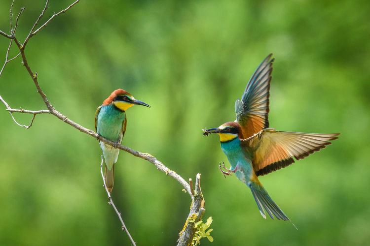 Coraciiformes Merops Apiaster Animal Themes Animal Wildlife Animals In The Wild Bee-eater Bird Close-up Day Nature No People Outdoors
