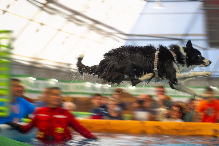 Motion Nature Animal Day Indoors  No People Blurred Motion Sportdog Border Collie