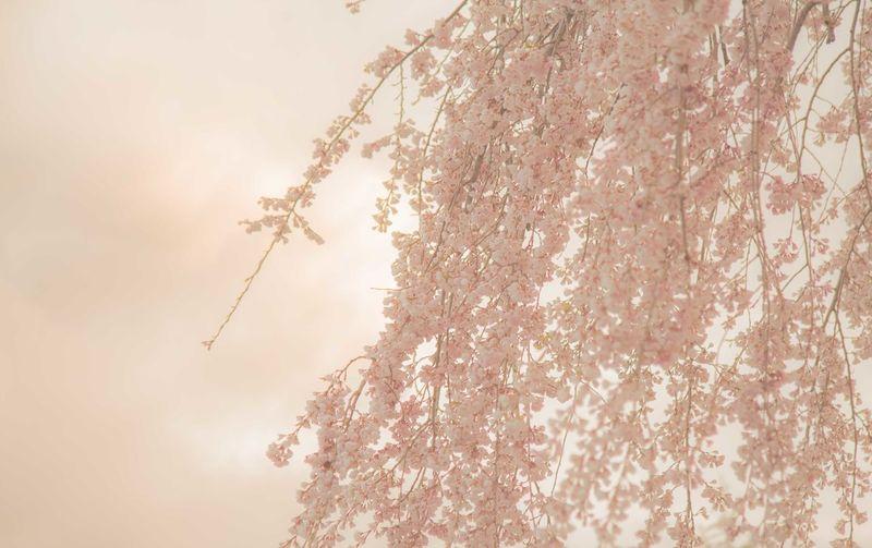 Cherry Blossoms Flower