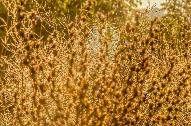 Dream Weaver Plant Beauty In Nature Outdoors Tranquility Non-urban Scene Morning Light Nikon Photography Outdoor Photography London Ontario Nikon D7000 Ontario, Canada Canada Coast To Coast Nikon Life Taking Photos Tranquil Scene Sunny Spiderweb Spider Web Dewdrops Foggy Morning