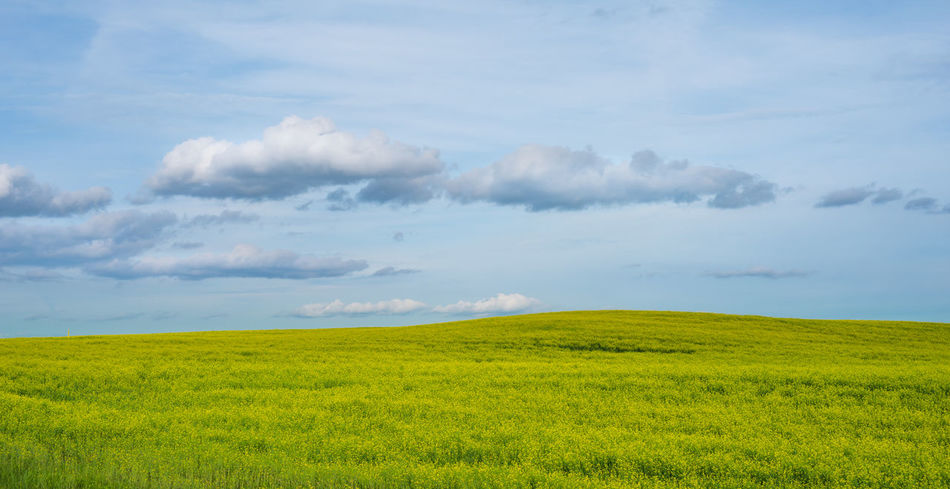 Green lush fields of Belarus outside of city of Minsk on the way to the city of Vitebsk Belarus Fieldscape Grass Green Hills Nature Quiet Yellow Flower Backgrounds Clouds Day Fields Fluffy Fluffy Clouds Grass And Sky Grassy Landscape Scerene Scerenity Sky Wallpaper Windows Yellow