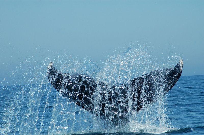 Humpback Whale Fluke Atlantic Ocean Fluke  Humpback Whale Nature Ocean One Animal Outdoors Whale Whale Tail