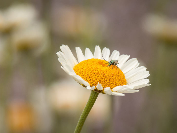 Beauty In Nature Close-up Daisy Day Flower Flower Head Flowering Plant Focus On Foreground Fragility Freshness Growth Inflorescence Nature No People Petal Plant Pollen Vulnerability  White Color Yellow