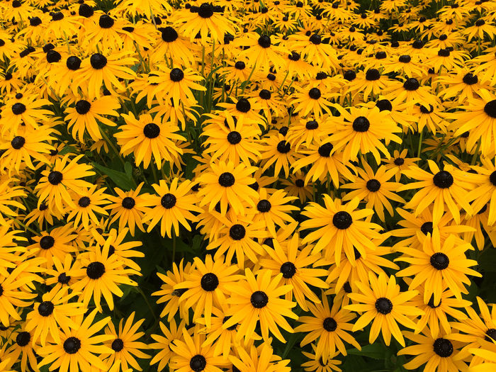 Full frame shot of yellow flowers blooming in field