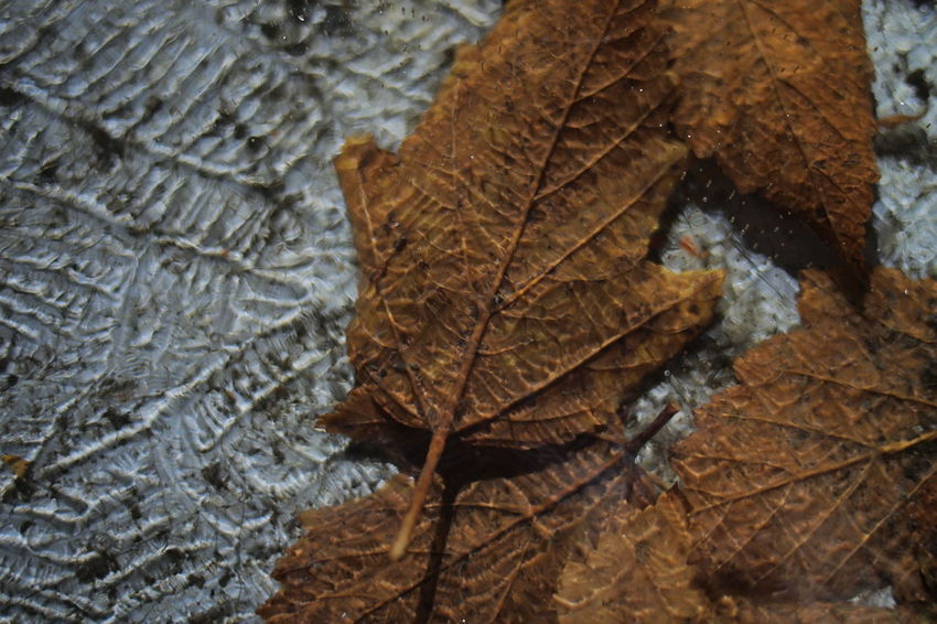 Frozen Autumn Beauty In Nature Change Close-up Day Dry Fragility High Angle View Leaf Maple Maple Leaf Nature No People Outdoors