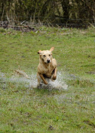 Labrador enjoying the water Animal Themes Dogs Dogs In Action Field Gundogs Labrador One Animal Outdoors Working Dogs