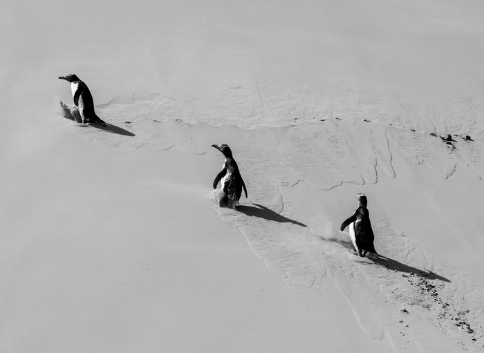 High angle view of penguins walking on snow covered land