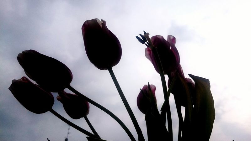 Urban Spring Fever Things I Like Here Belongs To Me Flowers Flower Bouquet Bouquet Of Flowers Silhouette Pink Tulips Spring Beauty In Nature Flowers,Plants & Garden Flowers, Nature And Beauty Eyeemphoto