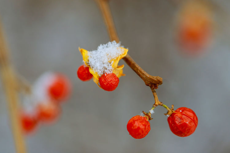 Close-Up Of Red Berries On Tree During Winter