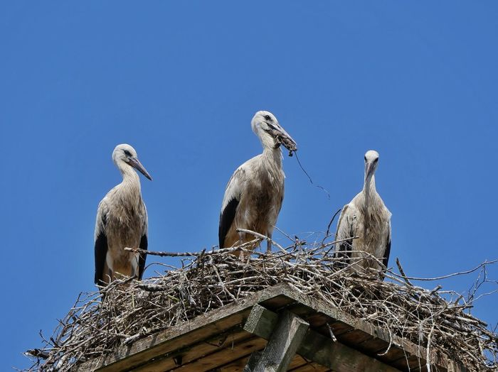 Low angle view of birds perching on nest against blue sky