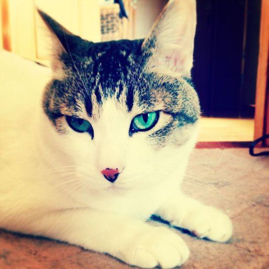 Cat Pets Green Eyes Cool Eye's