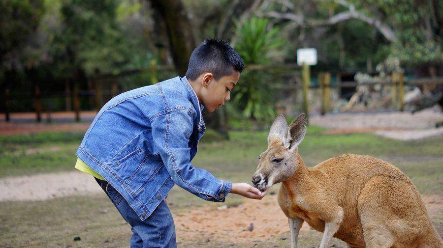 Side view of boy feeding kangaroo at zoo