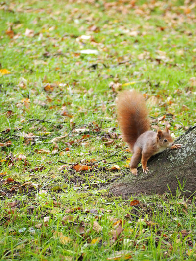 Squirrel Animal Themes Animal Wildlife Animals In The Wild Day Field Grass Green Color Mammal Nature No People One Animal Outdoors