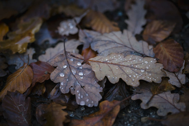 Close-up of wet maple leaf during autumn