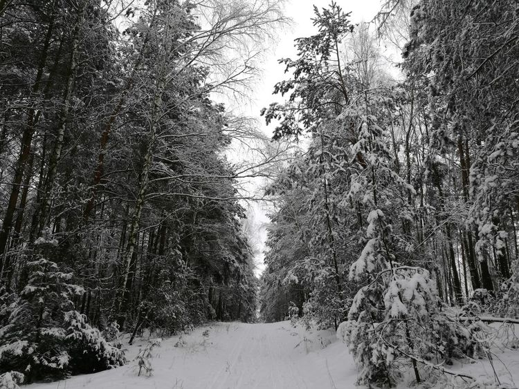 forest Nature No People Beauty In Nature Outdoors Day Forest Winter Winter Trees Without Photoshop Snowy Trees Snow ❄