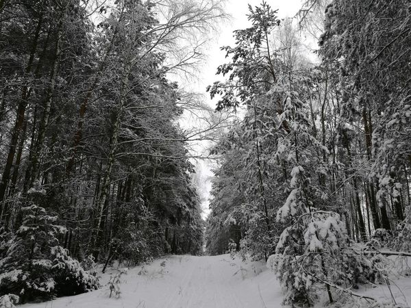 Forest Tree Nature No People Outdoors Snow ❄ Forest Winter Winter Trees Snowy Trees Without Photoshop Beauty In Nature Belarus