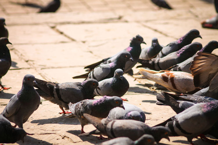 Pigeons Everywhere Pigeons On The Road Bird Animal Themes Large Group Of Animals Flock Of Birds Togetherness Pigeons On The Park Day