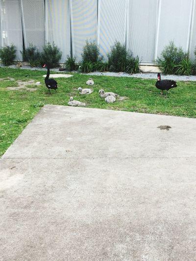 Black swan family No People Black Swans