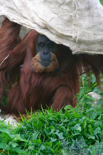 Animal Themes Animals In The Wild Close-up Day Hiding Mammal Nature No People One Animal Orangatang Orangutan Outdoors