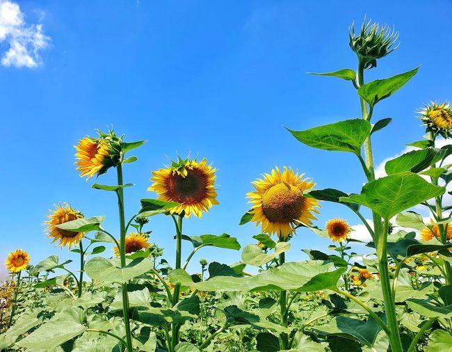 Sunflower Sunny