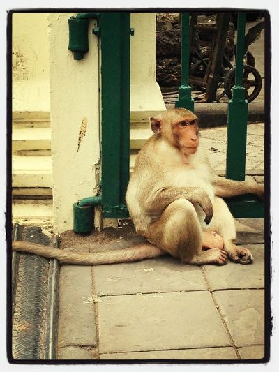 Thailand Smile Monkey