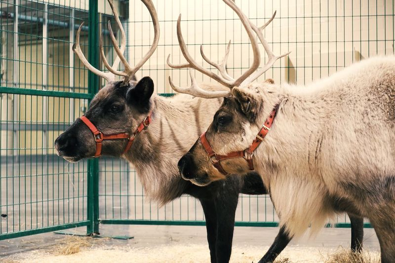 Double moose at christmas party! Animal Themes Mammal No People Christmastime Moose Animal Photography Animal_collection Animal Love Animal Eye Double Horns Two Animals EyeEm Nature Lover Together Togetherness Friends