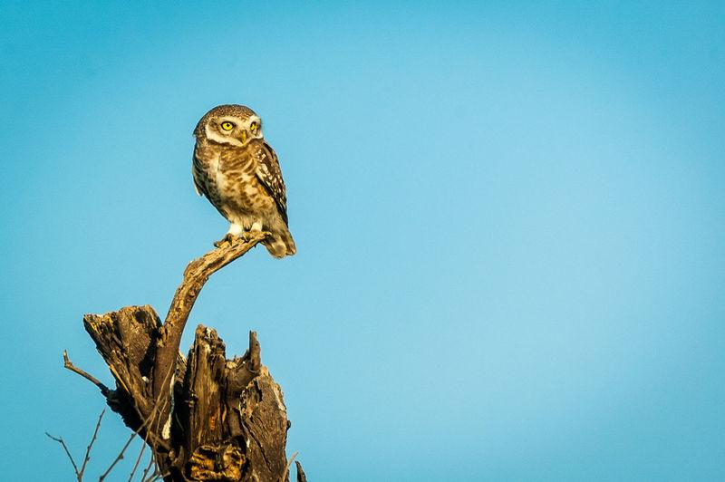 Owl on stem against clear blue sky