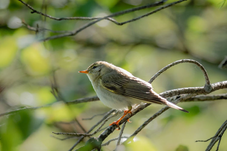 Phylloscopus Trochilus Animal Animal Themes Animal Wildlife Animals In The Wild Beauty In Nature Bird Branch Close-up Day Focus On Foreground Low Angle View Nature No People One Animal Outdoors Perching Plant Selective Focus Tree Vertebrate Willow Warbler