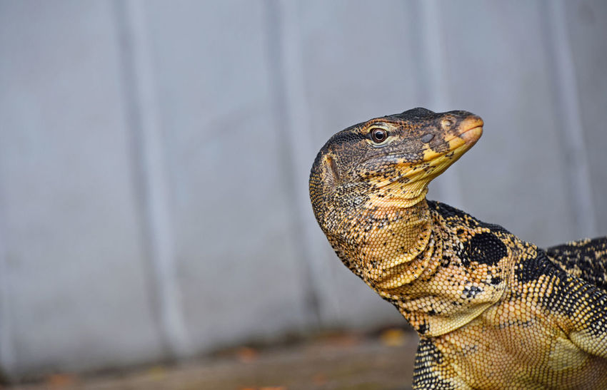 Asian giant water monitor goanna varan close up portrait looking at camera from the corner Animal Animal Scale Animal Themes Animal Wildlife Animals In The Wild Asian  Close-up Copy Space Day Giant Goanna Hello I See You Lizard Looking At Camera Monitor Lizard Nature No People One Animal Outdoors Portrait Reptile Varan Water Monitor Wildlife