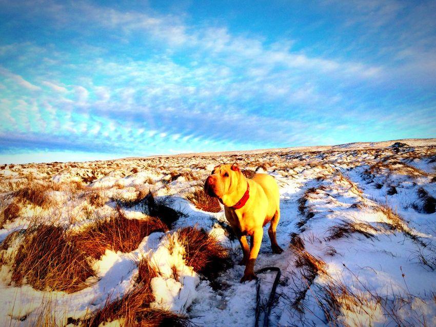 Shar-pei Dog Lone Dog Walks Hills Snowy Hills Snow Snowy Walk Wrinkly Dogs Rescuedog Blue Sky The Great Outdoors - 2017 EyeEm Awards