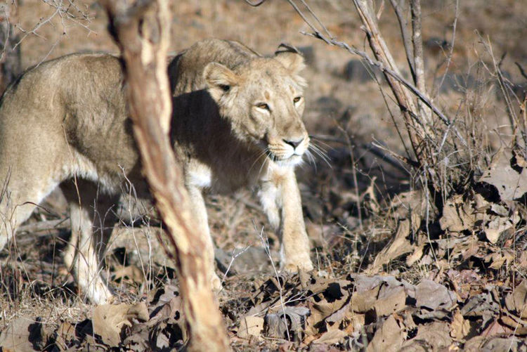 Gir National Park Animal Animal Themes Animal Wildlife Animals In The Wild Day EyeEmNewHere Jungle Lion - Feline Lioness Mammal Nature Nature Photography No People Outdoor Photography Outdoors Rakeshtiwari Wildlife Wildlife & Nature Wildlife Photography Wildlife Reserve
