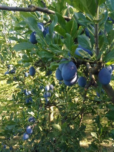 Tree Fruit Food