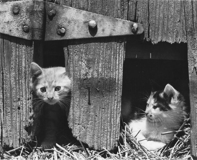 In door and Exit door Curious Cat Animal Themes Barn Cats Barn Door Hinge Barn Wood Close-up Looking At Camera Outdoors