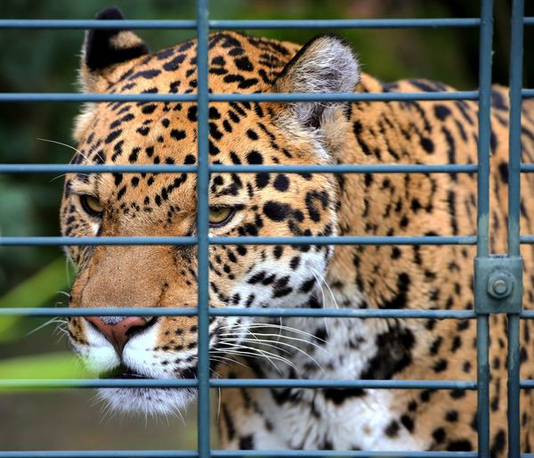 Close-up of cat in cage at zoo