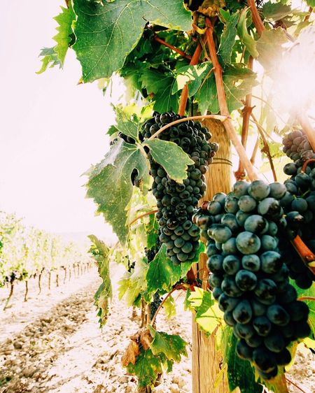 Wine Moments Fruit Agriculture Nature Growth Grape Sunlight Green Color Juicy Vineyard Leaf Winemaking Tree Plant Social Issues Food Hanging Outdoors Winery Wine Freshness Canon