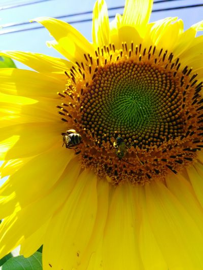 Sunflower🌻 Flower Yellow Petal Fragility Freshness Flower Head Close-up Beauty In Nature Sunflower Animal Themes Growth Pollination Blossom Nature Stamen Single Flower Botany In Bloom Springtime Symbiotic Relationship Bees And Flowers Bees At Work Bees🐝 Polinating #eyeemphoto