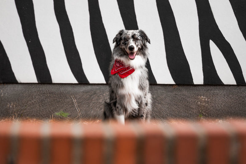 Australian Shepherd sitting in front of black and white street art wall looking at camera Australian Shepherd  Graffiti Pet Photography  Pet Portraits Animal Themes Animal Tongue Black And White Background Boundary Day Dog Dog Portrait Domestic Animals Looking At Camera One Animal Pets Portrait Selective Focus Street Art
