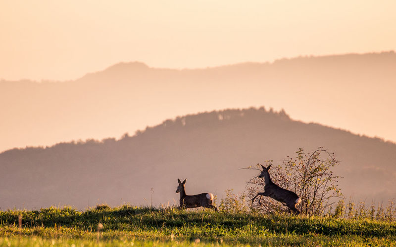 Side view of deer running on field against sky at sunset