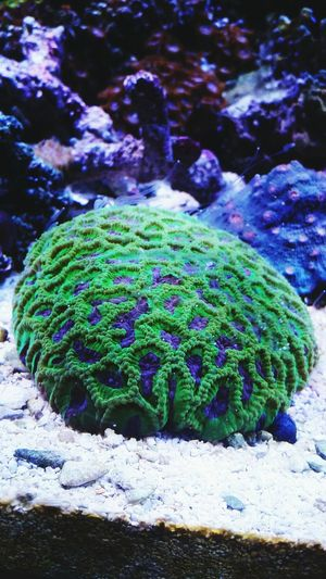 Coral Brain Saltwater Aquarium Purple Tenticles Night Life Underwater Capture The Moment Capturing Freedom Making My World Beautiful Freedom Perfection Photooftheday New York NYC Photography Thebestofeyeem Brain Corral Colorful My Tank Eyem Best Shots Say It Without Words