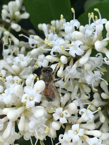 One Animal Flower Animal Themes Insect White Color Animals In The Wild Fragility Wildlife Nature Beauty In Nature No People Petal Flower Head Close-up Day Growth Plant Animal Wildlife Outdoors Freshness Nofilter Iphone6splus Michigan Bees