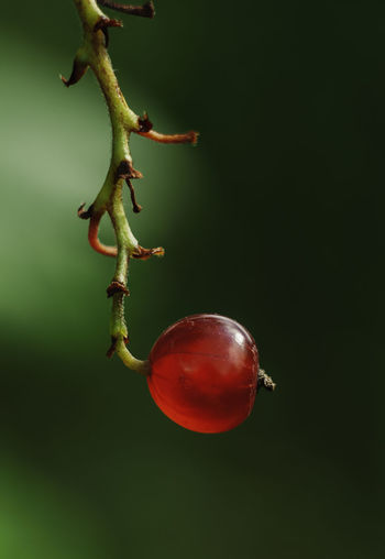 Close-up of red berries on plant against green background
