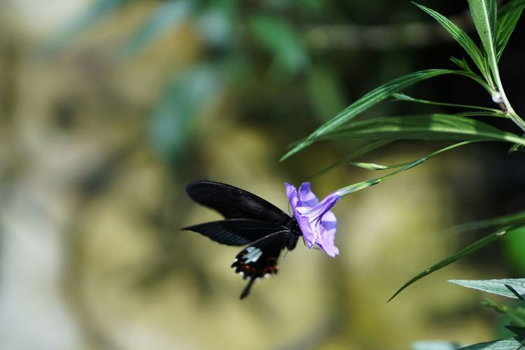 Spread Wings Flower Bird Flying Mid-air Pollination Motion Purple Hummingbird Animal Themes Flapping Butterfly Butterfly - Insect Animal Wing