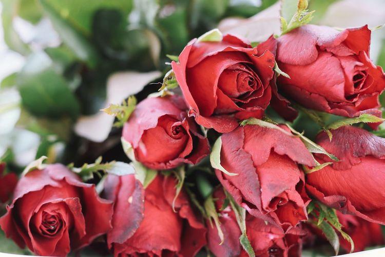 Red rose Pink