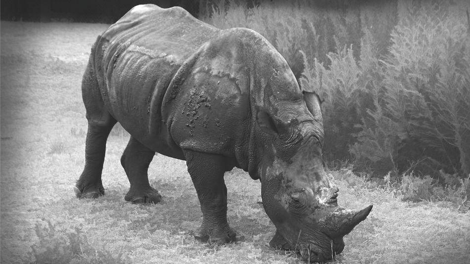 Nature Outdoors Rhinoceros Rhinos Animal Nature Animal Themes Animal One Animal
